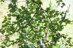 A branch with fresh green leaves of birch Stock Photos