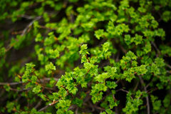 Branch with Fresh Green Leaves Close-Up Stock Photo