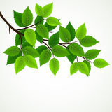 Branch with fresh green leaves Royalty Free Stock Photography