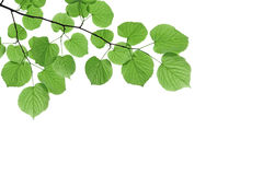 Branch with fresh green leaves - isolated on white background Royalty Free Stock Photography