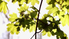Branch of fresh green maple foliage close-up. stock video footage