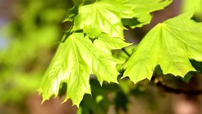 Branch of fresh green maple foliage close-up. stock footage