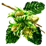 Branch of fresh hazelnut, hazel nuts and leaves isolated, watercolor illustration on white. Background Stock Photography