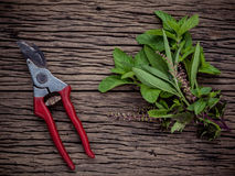 Branch of fresh herbs from the garden. Holy basil flower ,oregano, sage and mint with garden pruner on rustic wooden background. royalty free stock photo