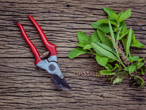 Branch of fresh herbs from the garden. Holy basil flower ,oregano, sage and mint with garden pruner on rustic wooden background. stock photo