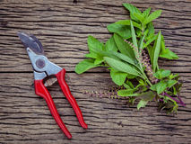 Branch of fresh herbs from the garden. Holy basil flower ,oregano, sage and mint with garden pruner on rustic wooden background. stock photography