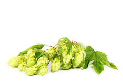 Branch of fresh hops isolated on white background Royalty Free Stock Image