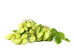 Branch of fresh hops on white background. Stock Image