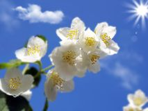 A branch of fresh jasmine Royalty Free Stock Images
