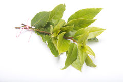 Branch of fresh Laurel leaves. On a white background Royalty Free Stock Photography