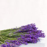 Branch of fresh lavender. On a white background Royalty Free Stock Image