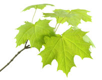 Branch with  fresh leaves of the maple. Royalty Free Stock Image