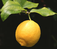 Branch with the fresh lemon Royalty Free Stock Photos