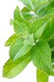 Branch of fresh mint isolated on white close-up. Vertical Royalty Free Stock Image
