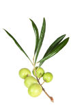 The branch of fresh olives Stock Photos