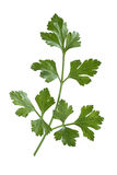 Branch of fresh parsley Stock Photos