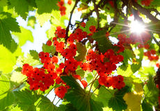 Branch with fresh red currant fruit. In sunlight Stock Photography