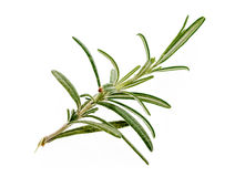 Branch of fresh rosemary isolated on white background. Royalty Free Stock Photo