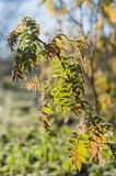 Branch of fresh rowan tree leafes in morning sun Royalty Free Stock Photos