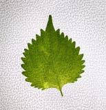 Branch of fresh shiso green leaf background . Shiso green leaf background. Royalty Free Stock Photo