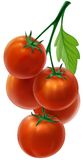 Branch with fresh tomatoes Royalty Free Stock Images