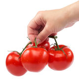 A branch of fresh tomatoes in hand on white background. Royalty Free Stock Photo