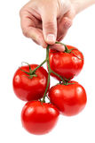 A branch of fresh tomatoes in hand on white background. Royalty Free Stock Images