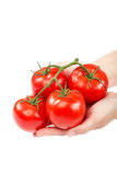 A branch of fresh tomatoes in hands on white background. Royalty Free Stock Image