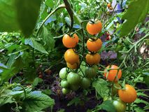 Branch of fresh yellow cherry tomatoes hanging on trees in organic farm royalty free stock photo