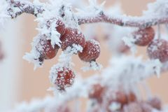 Branch with frozen berries and frost. Branch with  red frozen berries and frost Stock Photo