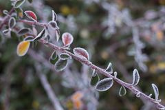 Branch of frozen leaves of barberry close up. Macro branch with leaves. Outdoor nature photography royalty free stock images