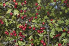 Branch of Crataegus monogyna plant. Branch with fruit of Crataegus monogyna plant Stock Images