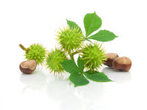 Branch with fruit, ripe chestnuts and leaves on a white backgrou Royalty Free Stock Photo