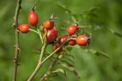 Branch with fruit ripe rose hips, outdoor. Shallow focus Royalty Free Stock Photos