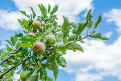 Branch with fruits of Apple trees on background of blue sky and clouds Stock Photos