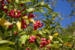 A branch with fruits and seeds of Euonymus europaeus Stock Photos