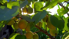Branch full of apricots in the breeze stock video
