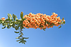 Branch full of berry fruits over blue sky Stock Image