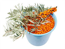 The branch and full bucket of sea-buckthorn berrie Stock Photography