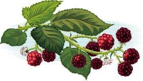 Branch full of ripe blackberries. Branch full of ripe blackberries with leaves on sky background Royalty Free Stock Photo