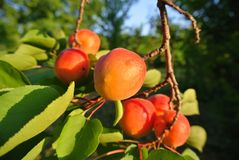 Branch full of ripe orange juicy apricots Stock Images