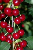 Branch full of sweet cherries just before the harvest royalty free stock photography