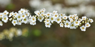 Branch full of White flowers. Sorbaria flowers in a branch in spring stock images