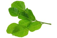 A branch of garden picked Kaffir lime leaves Stock Photography