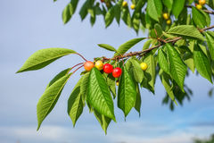 On the branch in the garden ripen berries cherries. Stock Photography