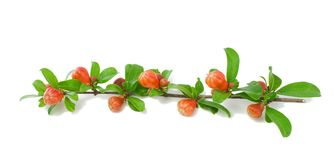 Branch of a garnet tree with buds. Royalty Free Stock Images