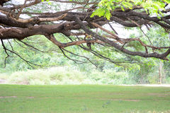 Branch of Giant monkey pod tree Stock Image