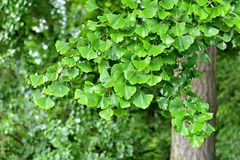 Branch of ginkgo tree Royalty Free Stock Photo