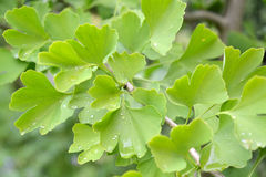 Branch of the Ginkgo two-bladed (Ginkgo biloba L.) with green leaves Stock Photo