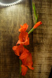Branch of Gladiolus Flower by Chain of Bright Lamps Royalty Free Stock Photography